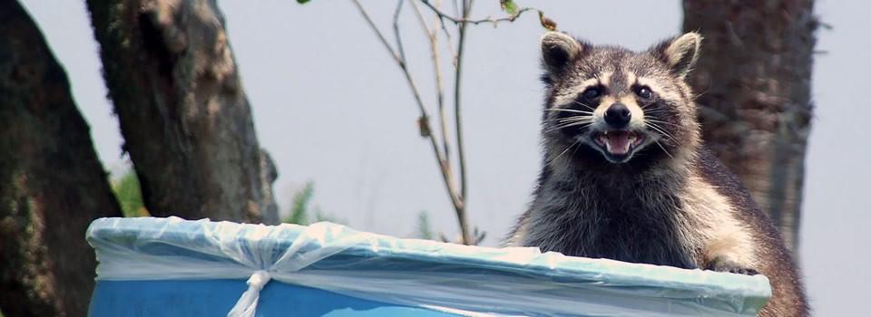 Aldine raccoon control