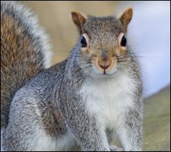 squirrel control Colleyville